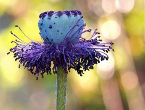 Vessels of life santa fe botanical garden poppy mightylinksfo