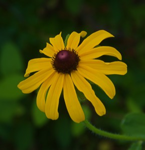 Close-up of Rudbeckia hirta (Black eyed Susan flower) by Janice Tucker