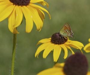 Rudbeckia hirta (Black eyed Susan) and Juniper Hairstreak Butterfly by Janice Tucker