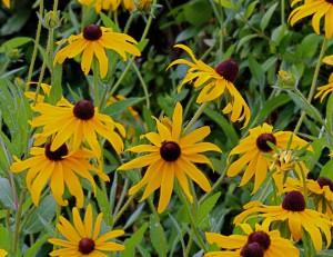 Rudbeckia hirta (Black eyed Susans) en masse by Janice Tucker