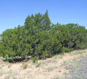 One-seeded Juniper (Juniperus monosperma)