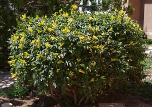 Mahonia aquifolium by Janice Tucker