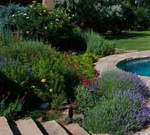 Lavender in garden