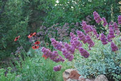 Salvia pachyphylla & Gaillardia Tokajer