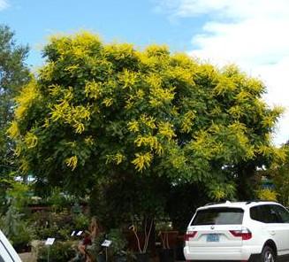 MARCH Golden rain tree Koelreuteria paniculata Santa Fe