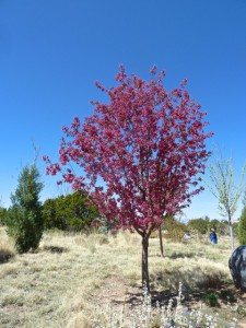 June Radiant Crabapple Malus 215 Radiant Santa Fe