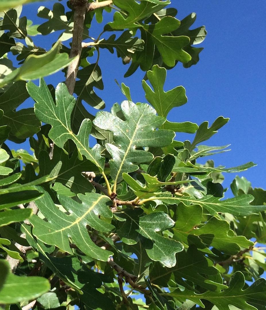 OCTOBER : Gambel oak : Quercus gambelii – Santa Fe Botanical Garden