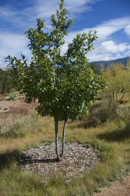 august oaks quercus species santa fe botanical garden august oaks quercus species santa